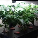 Aerogarden Tomato Plants