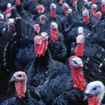"""What's a """"Heritage"""" Turkey?"""